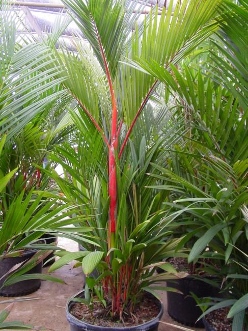 Jual Pohon Palem Merah Di Surabaya Jual Tanaman Hias Dan Pohon Besar